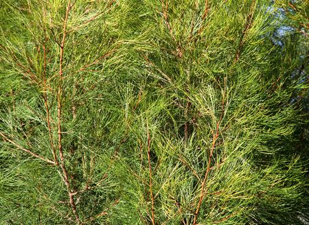 Green needles of a young pine