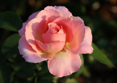 Tenderness of the Pink Rose  Language of flowers