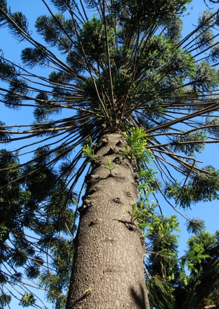 High evergreen coniferous tree  Araucaria araucana   photo