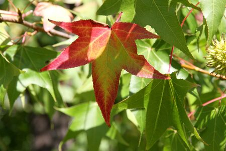 Autumn red leaf among green foliage of a plane tree