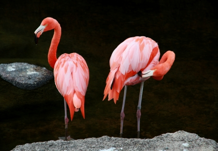 Couple of red American Flamingos near the lake  Stock Photo