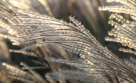 Decorative grass  branch in a sunlight  Stock Photo