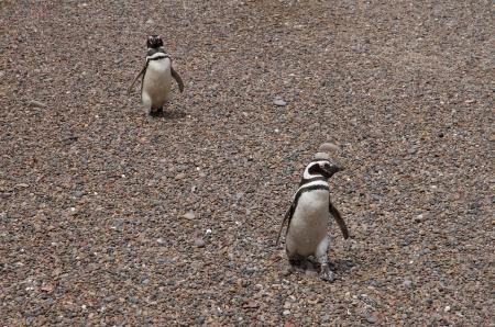 ridicolo: Ridicolo pinguini di Magellano
