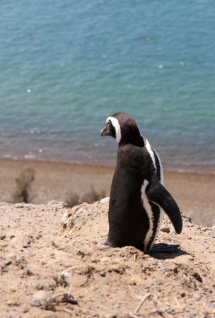Magellanic penguin on the Patagonian coast  Argentina