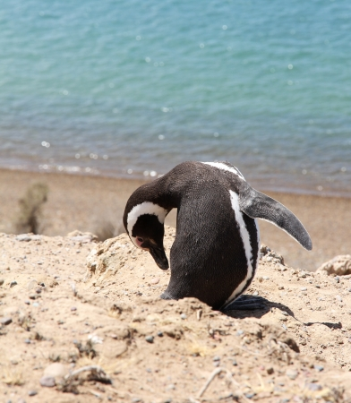 Magellanic penguin on the Atlantic coast  photo