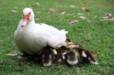 brood: Careful duck brood of ducklings Muscovy Duck