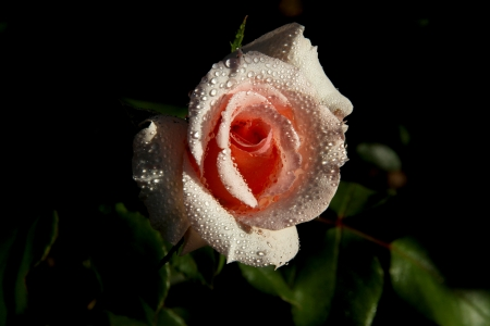 Light Rose in water droplets  Flower magic  photo