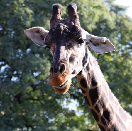 Giraffe beautiful portrait  Wild nature  Stock Photo