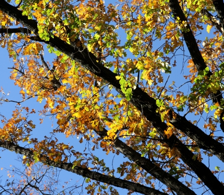 Oak branches with colourful autumn leaves  Stock Photo