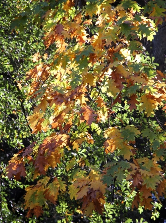 Oak color autumn foliage on a tree  Stock Photo
