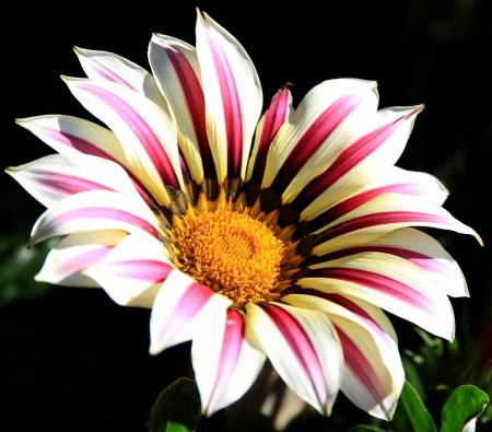 Gazania rigens bright  flower Summer garden