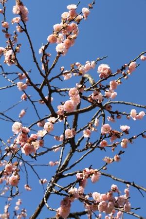 Blossoming pink Sakura in the spring