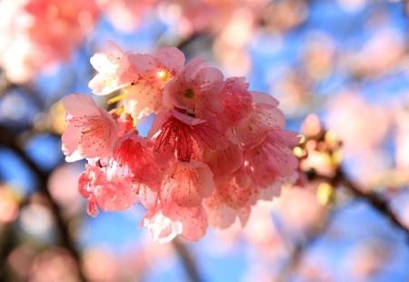 Sakura pink flowering   Stock Photo