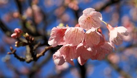 Tenderness of spring  Sakura flowering