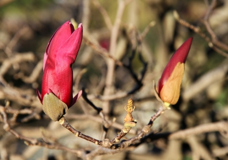Lilac Magnolia buds   photo