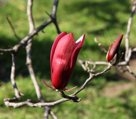 Lilac Magnolia buds   Japanese garden  photo