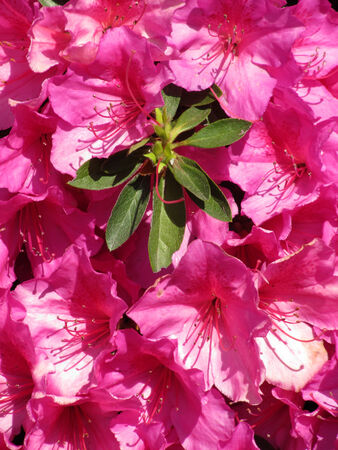 Pink flowers Azalea  Spring blossoming                                 photo