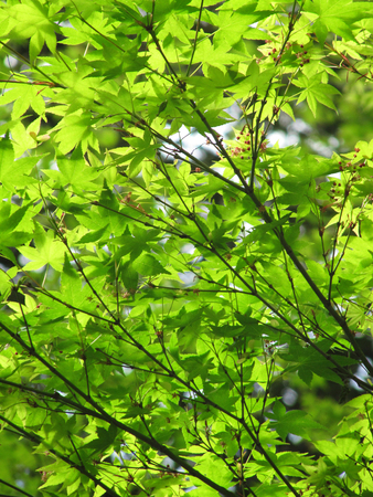 Green spring foliage of the Japanese maple