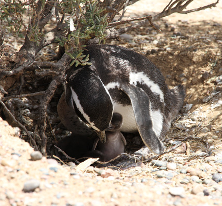 penguin colony: Magellanic penguin with baby bird  Mothers care