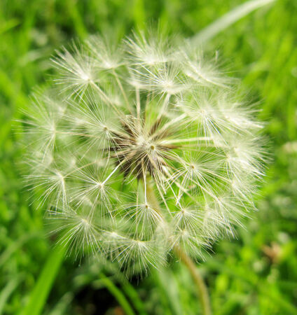 lightness: Dandelion flower  Ease and lightness