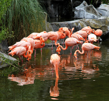 Red flamingos pack in ecological biopark   photo