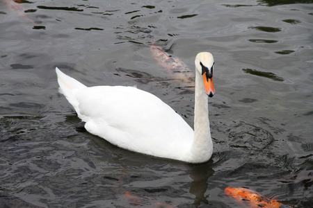 White swan and carp fish on a pond  photo
