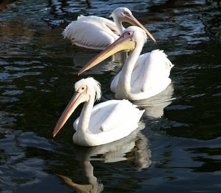 Three beautiful white pelicans float in water
