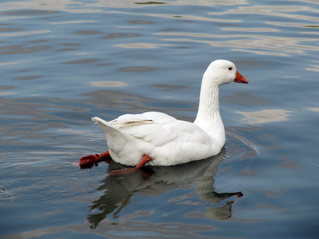 White goose floating in the lake                                  photo