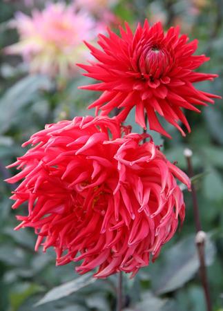 scarlet: Scarlet Dahlias. Love flowers.