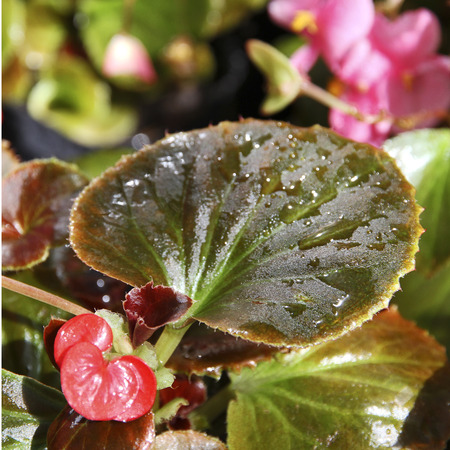 Begonia leaf with water drops. Spring garden. Stock Photo