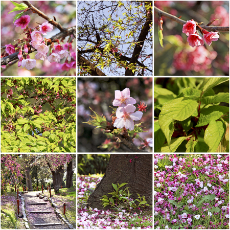 Sakura blossoms in the Japanese garden. Spring collage. Stock Photo