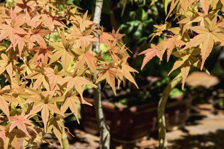 dwarfish: Autumn tree Bonsai. Japanese traditional garden