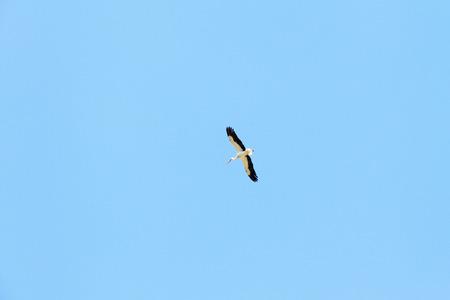Beautiful stork in flight. Blue sky.