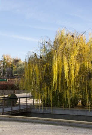 Gold willow tree in the park. Autumn light. Stock Photo