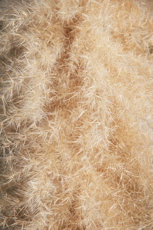 Decorative dry grass. Texture, background.