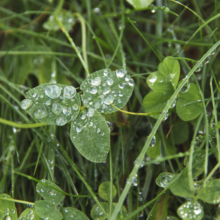 Clovers lovely leaf with dew drops. Stock Photo