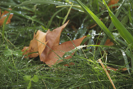 Grass in rainy drops and autumn leaves.