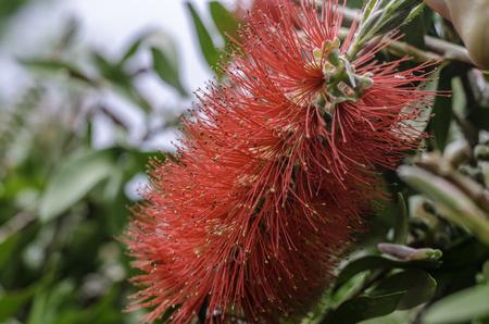 lanceolatus: Callistemon lanceolatus, red feathery flower. Stock Photo