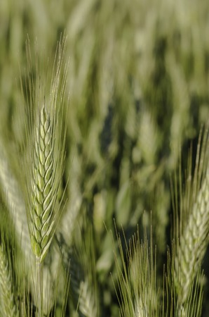 sun s: Green wheat in field and sunny day. Stock Photo