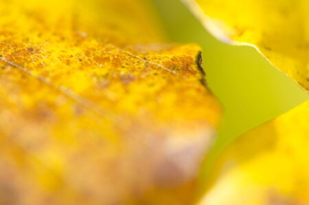 beech leaf: Closeup of beech leaf in colored autumn and blur background Stock Photo