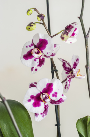 phal: Purpure orchids flower and green leafs over white.