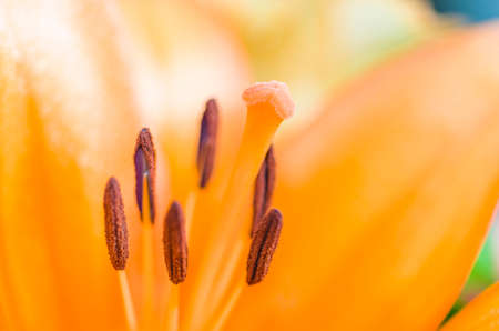 pistil: Detail of lilly , pistil and stamens, macro. Stock Photo