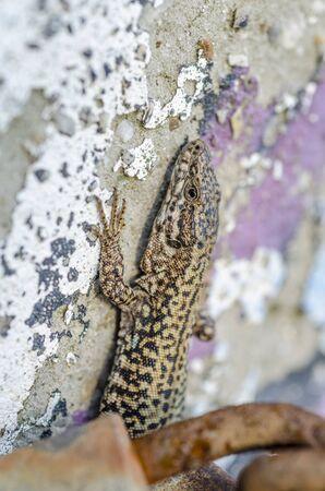 viviparous: Lizard on a concrete wall and textures. Stock Photo
