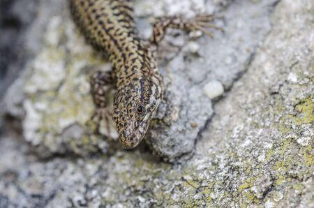 viviparous lizard: Lizard on a concrete wall and textures. Stock Photo