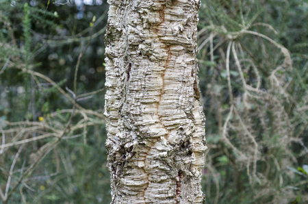 quercus: Closeup of bark of Quercus suber, cork oak tree, primary source of cork for wine bottle stoppers. Stock Photo