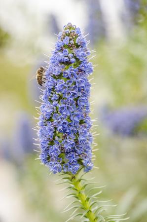 echium: Bee on the flower: echium candicans (pride of madeira)