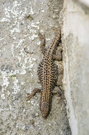 viviparous: Lizard on a concrete wall and textures. Stock Photo
