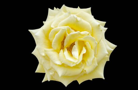 rosaceae: Yellow rose (Rosaceae) over black background