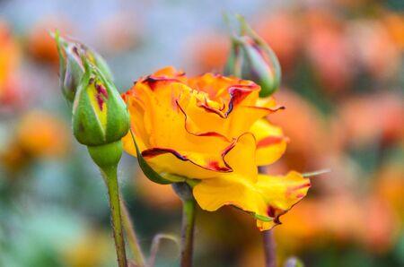 rosaceae: Field of orange rose (Rosaceae) in the garden.