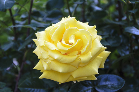 rosaceae: Field of yellow rose (Rosaceae) in the garden.